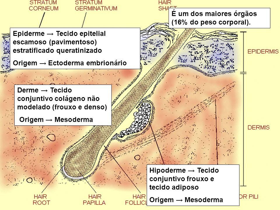 Epiderme Tecido epitelial escamoso (pavimentoso) estratificado queratinizado Origem Ectoderma embrionário Derme Tecido conjuntivo colágeno não modelad