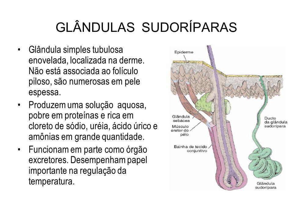 GLÂNDULAS SUDORÍPARAS Glândula simples tubulosa enovelada, localizada na derme. Não está associada ao folículo piloso, são numerosas em pele espessa.