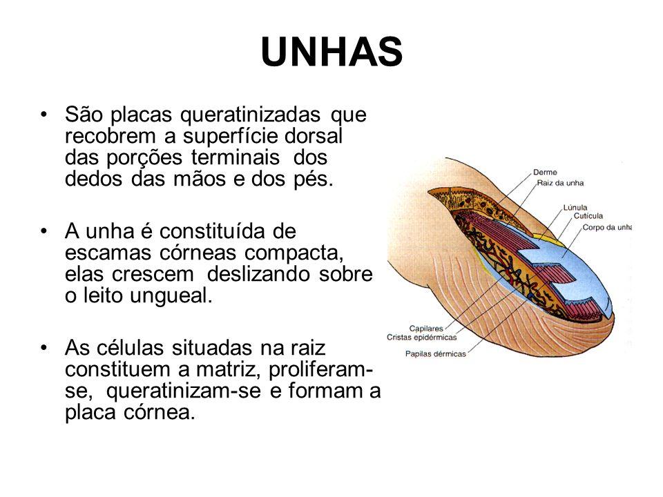 UNHAS São placas queratinizadas que recobrem a superfície dorsal das porções terminais dos dedos das mãos e dos pés. A unha é constituída de escamas c