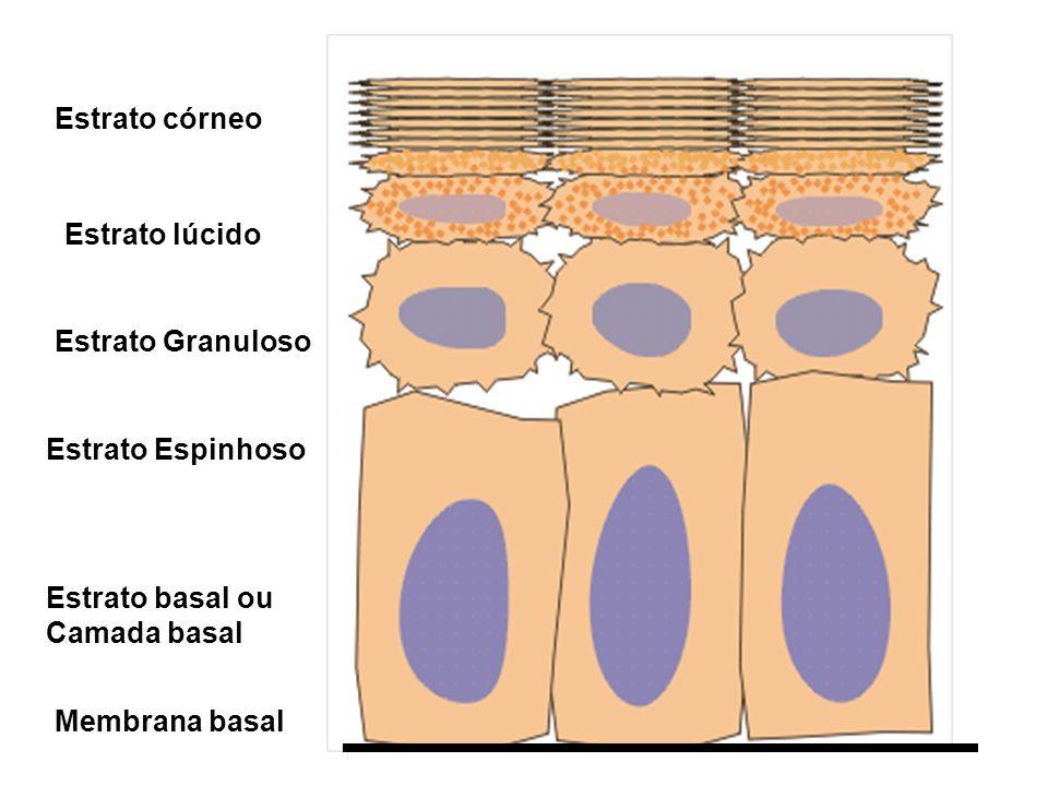 Membrana basal Estrato basal ou Camada basal Estrato Espinhoso Estrato Granuloso Estrato lúcido Estrato córneo