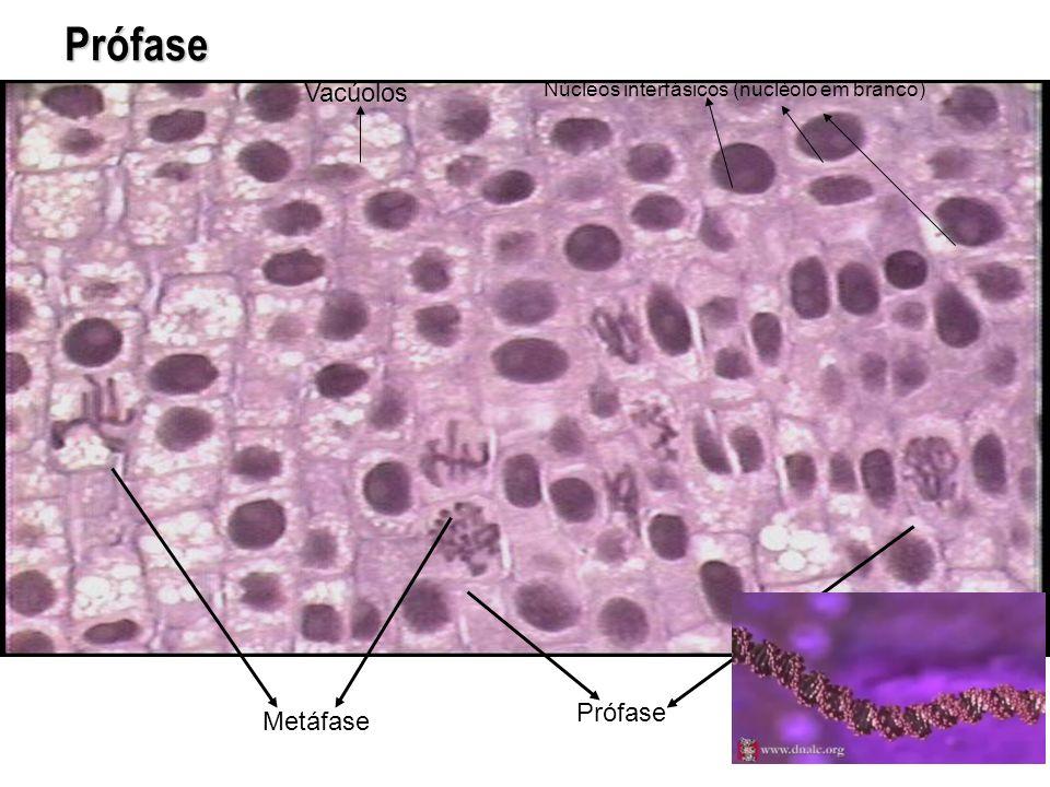 Prófase Metáfase Prófase Núcleos interfásicos (nucléolo em branco) Vacúolos