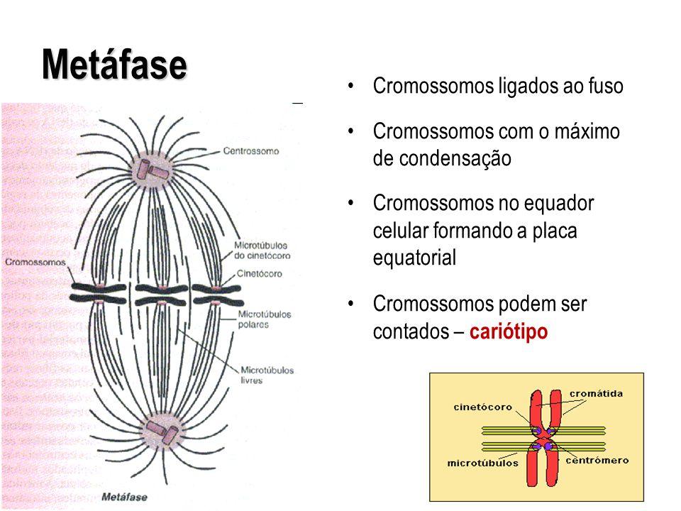 Metáfase Cromossomos ligados ao fuso Cromossomos com o máximo de condensação Cromossomos no equador celular formando a placa equatorial Cromossomos po