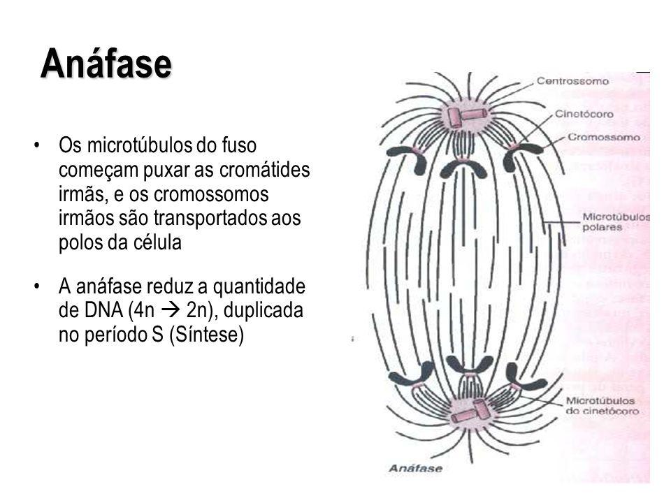 Os microtúbulos do fuso começam puxar as cromátides irmãs, e os cromossomos irmãos são transportados aos polos da célula A anáfase reduz a quantidade