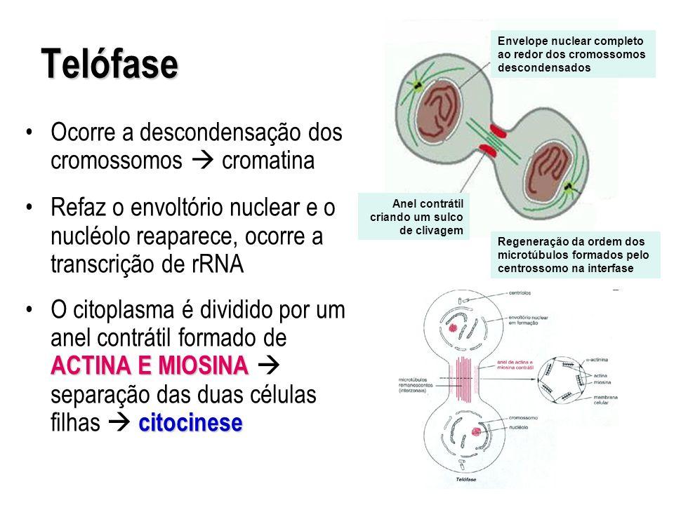 Telófase Ocorre a descondensação dos cromossomos cromatina Refaz o envoltório nuclear e o nucléolo reaparece, ocorre a transcrição de rRNA ACTINA E MI