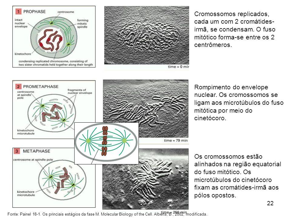 22 Cromossomos replicados, cada um com 2 cromátides- irmã, se condensam. O fuso mitótico forma-se entre os 2 centrômeros. Rompimento do envelope nucle