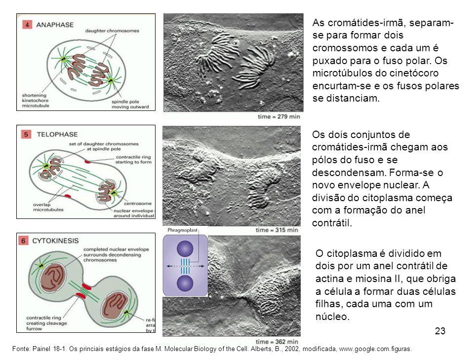 23 As cromátides-irmã, separam- se para formar dois cromossomos e cada um é puxado para o fuso polar. Os microtúbulos do cinetócoro encurtam-se e os f
