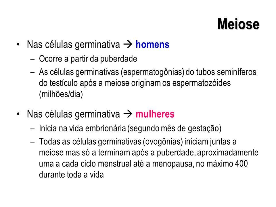 Meiose Nas células germinativa homens –Ocorre a partir da puberdade –As células germinativas (espermatogônias) do tubos seminíferos do testículo após