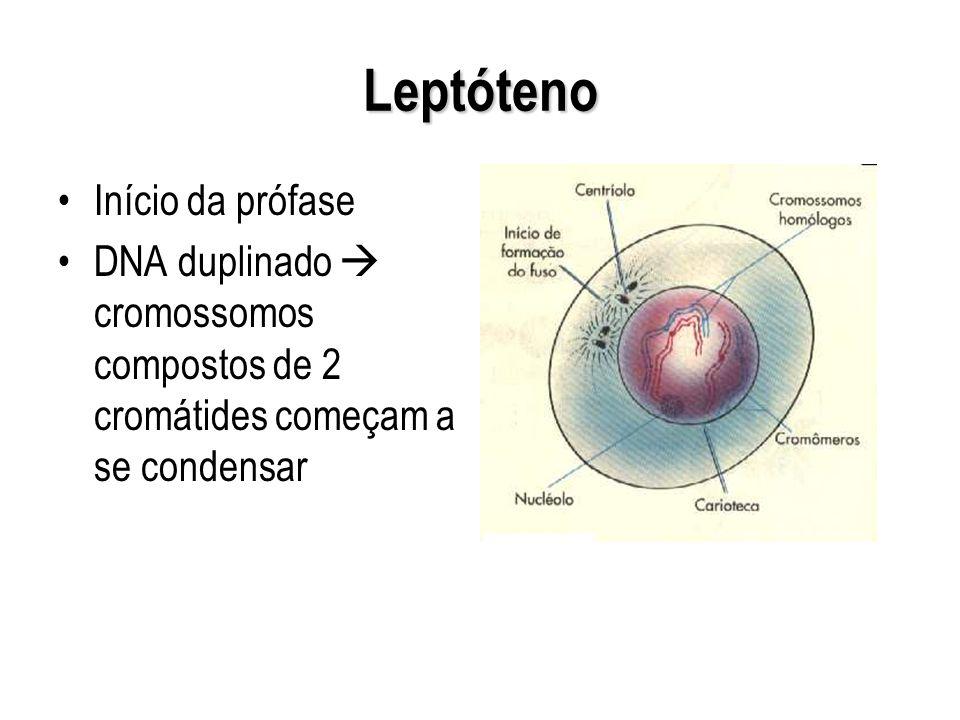 Leptóteno Início da prófase DNA duplinado cromossomos compostos de 2 cromátides começam a se condensar