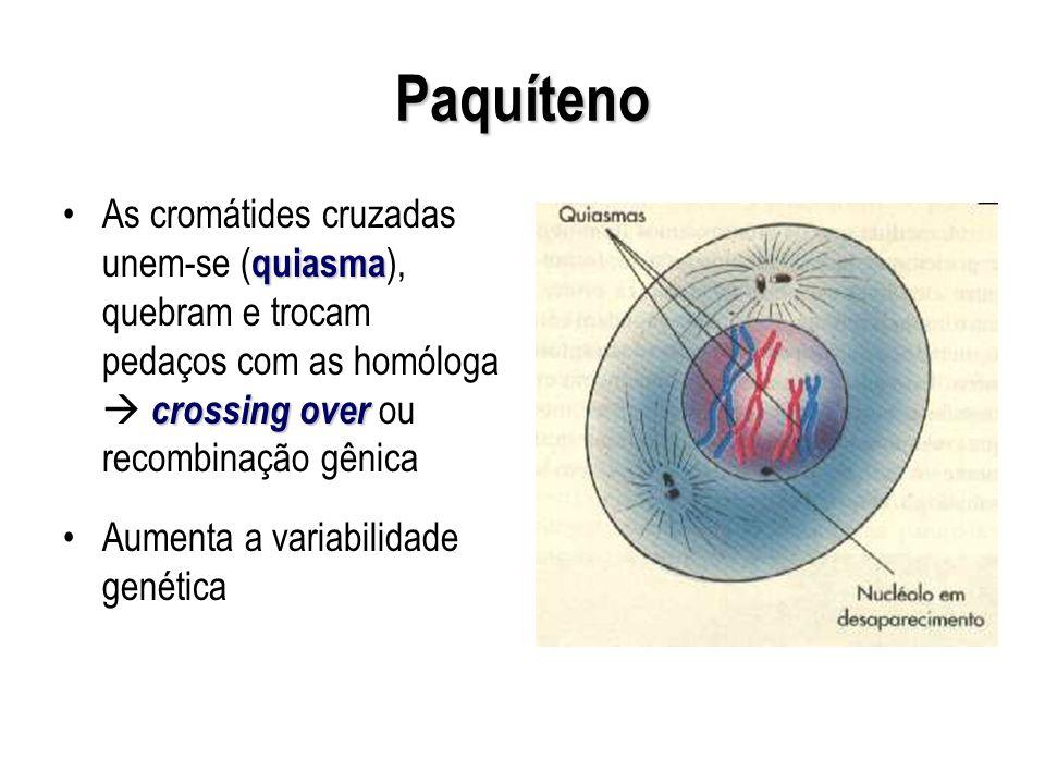 Paquíteno quiasma crossing overAs cromátides cruzadas unem-se ( quiasma ), quebram e trocam pedaços com as homóloga crossing over ou recombinação gêni