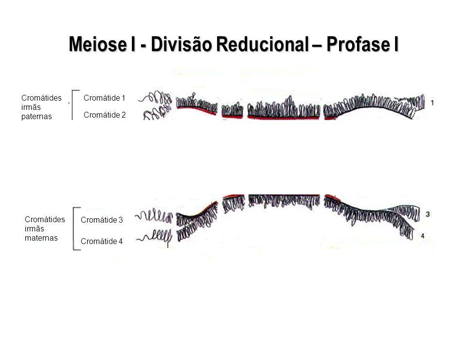 Meiose I - Divisão Reducional – Profase I Cromátides irmãs paternas Cromátides irmãs maternas Cromátide 1 Cromátide 2 Cromátide 3 Cromátide 4
