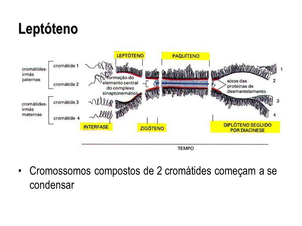 Cromossomos compostos de 2 cromátides começam a se condensar Leptóteno