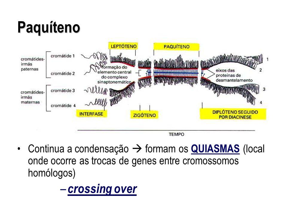 Continua a condensação formam os QUIASMAS (local onde ocorre as trocas de genes entre cromossomos homólogos) – crossing over Paquíteno