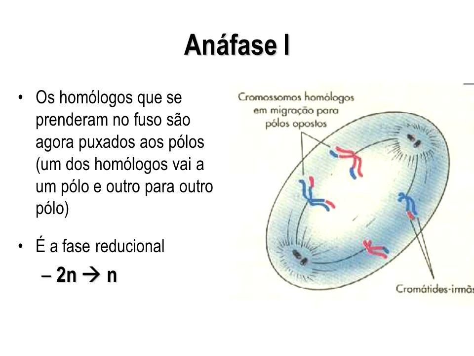 Anáfase I Os homólogos que se prenderam no fuso são agora puxados aos pólos (um dos homólogos vai a um pólo e outro para outro pólo) É a fase reducion