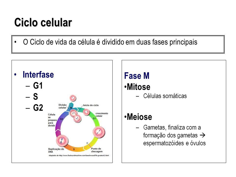 Metáfase Metáfase ( com placa ) Anáfase Vacúolos Núcleo interfásico