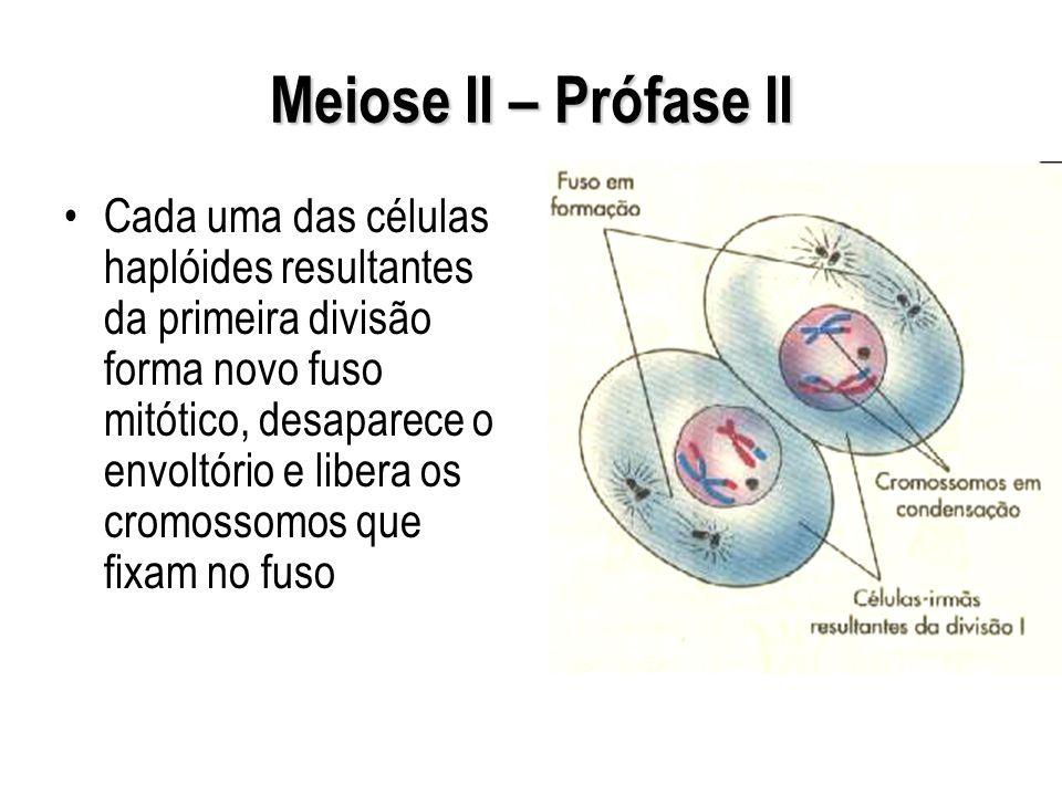 Meiose II – Prófase II Cada uma das células haplóides resultantes da primeira divisão forma novo fuso mitótico, desaparece o envoltório e libera os cr