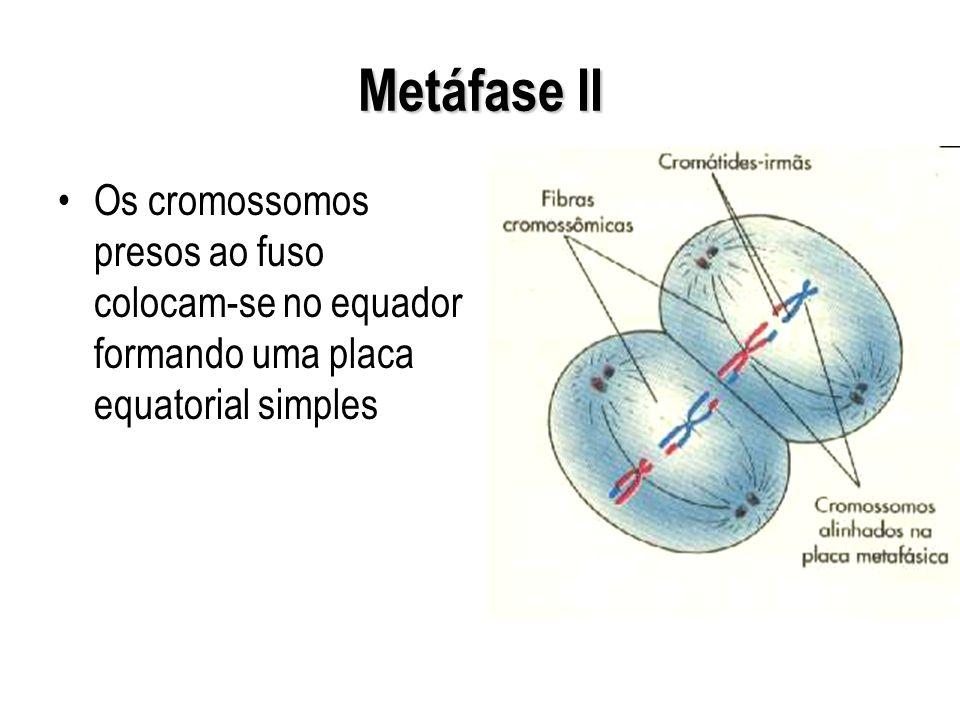 Metáfase II Os cromossomos presos ao fuso colocam-se no equador formando uma placa equatorial simples