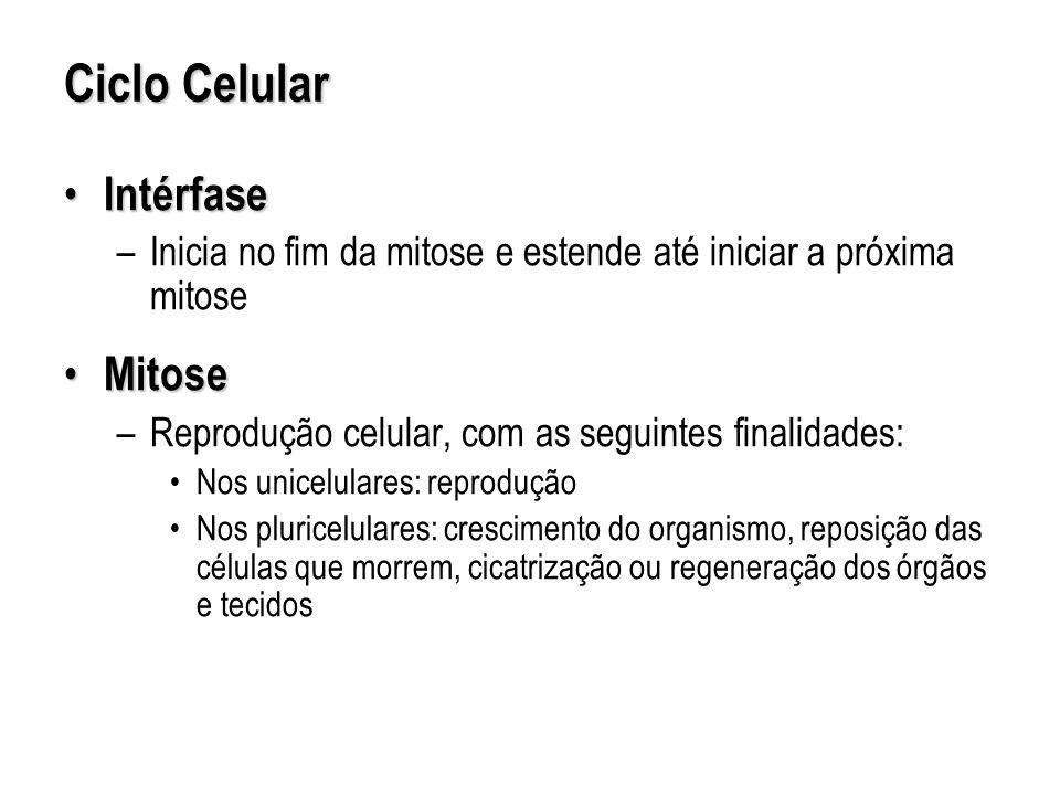 Ciclo Celular Intérfase Intérfase –Inicia no fim da mitose e estende até iniciar a próxima mitose Mitose Mitose –Reprodução celular, com as seguintes