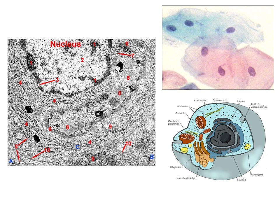 – Fixação – Tratamento que visa impedir a destruição das células por suas próprias enzimas (autólise), ou bactérias.