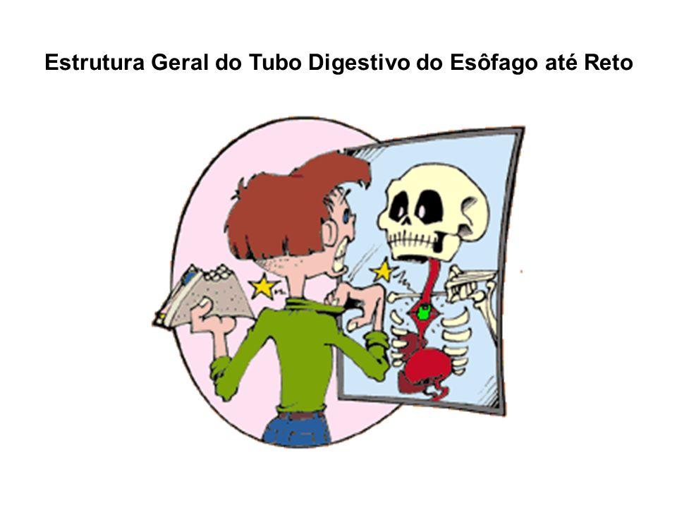 Glândulas Plexos nervosos, Meissner e Auerbach Submucosa: Tecido conjuntivo Muscular: Músculo liso Serosa: Epitelio pav.