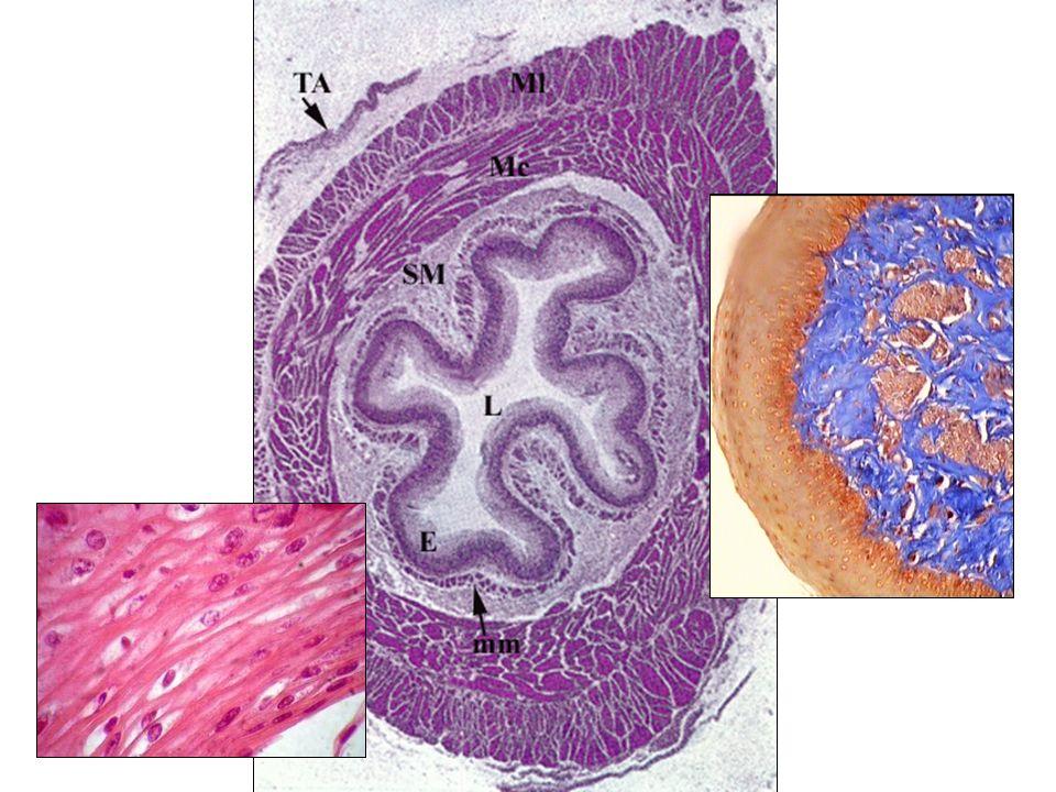 Corpo Piloro CárdiaEstômago Divide-se em três porções –Cárdia –Piloro –Fundo