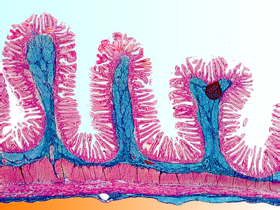 Mucosa –Epitélio simples cilíndrico –Epitélio simples cilíndrico, células caliciformes Placas de Peyer –Tecido conjuntivo frouxo, vascularizado, linfócitos, Placas de Peyer –Muscular da mucosa Submucosa –Tecido conjuntivo denso Meissner –Plexo submucoso de Meissner Muscular –Circular interna e longitudinal externa Auerbach –Plexo nervoso de Auerbach, responsável pela atividade peristáltica Serosa