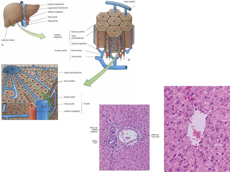 Vesícula Biliar Armazena e concentra a bile; Responde à ingesta de gorduras, intestino delgado provoca contração da vesícula biliar.