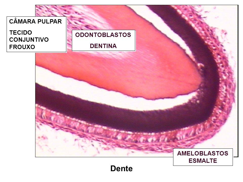 Língua Tecido muscular estriado esquelético em três planos Músculos extrínsecos – Movimento; Músculos intrínsecos – Forma