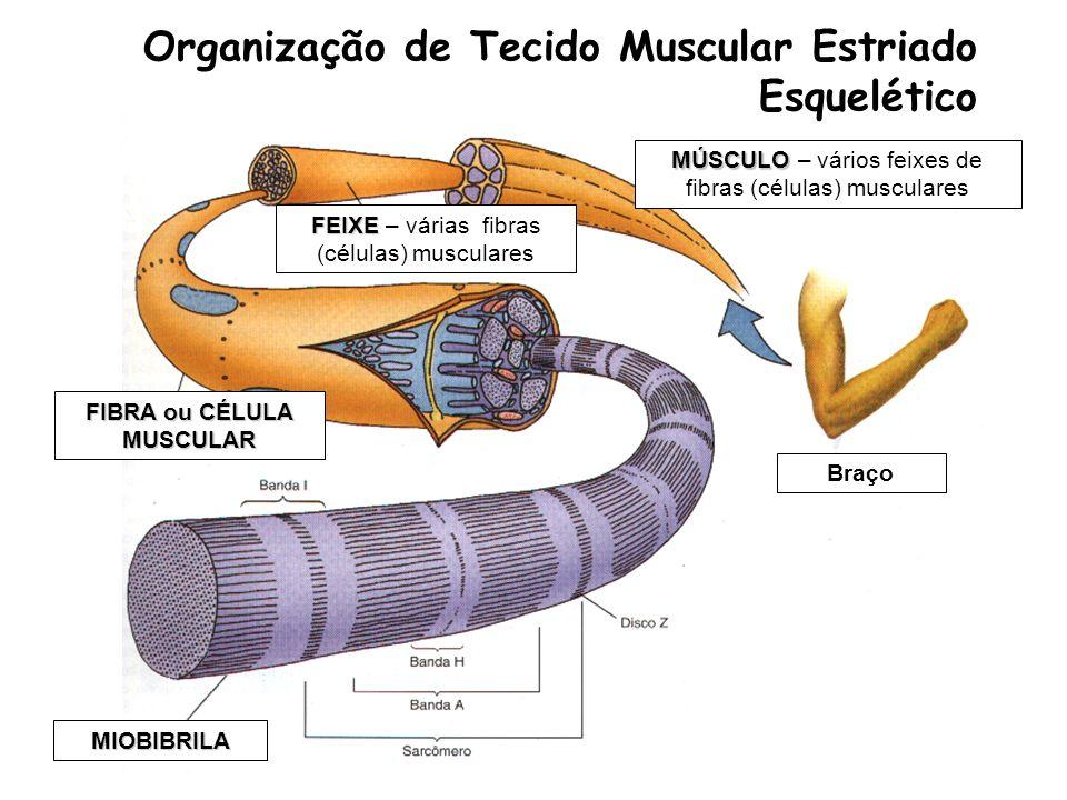 Organização de Tecido Muscular Estriado Esquelético Braço FEIXE FEIXE – várias fibras (células) musculares FIBRA ou CÉLULA MUSCULAR MIOBIBRILA MÚSCULO