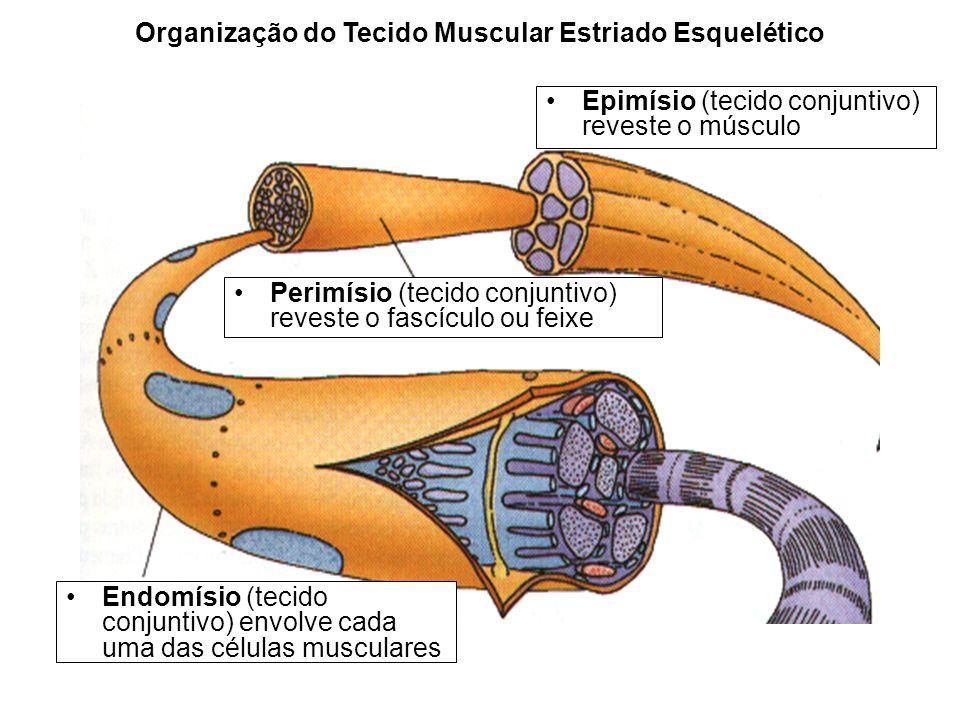 Endomísio (tecido conjuntivo) envolve cada uma das células musculares Perimísio (tecido conjuntivo) reveste o fascículo ou feixe Epimísio (tecido conj