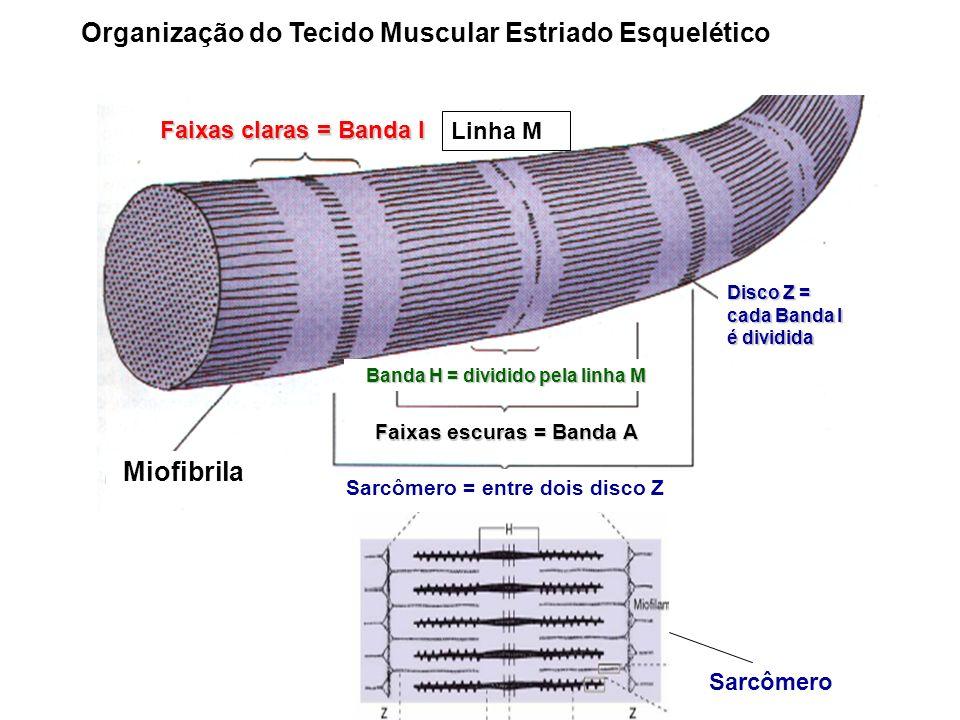Sarcômero = entre dois disco Z Miofibrila Faixas claras = Banda I Faixas escuras = Banda A Banda H = dividido pela linha M Disco Z = cada Banda I é di