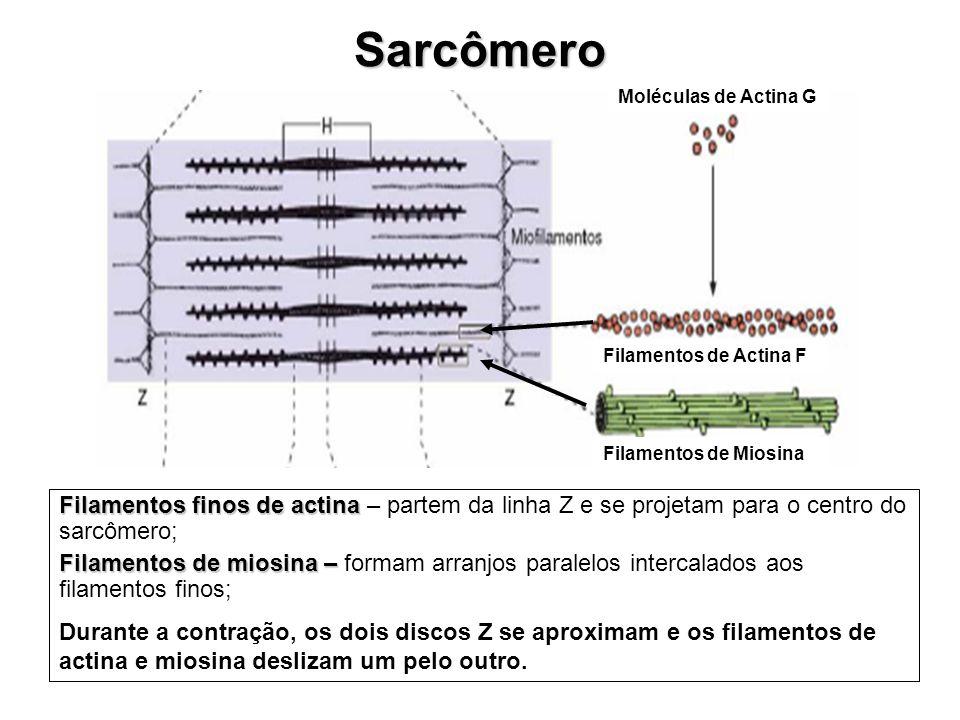 Moléculas de Actina G Filamentos de Actina F Filamentos de Miosina Sarcômero Filamentos finos de actina Filamentos finos de actina – partem da linha Z