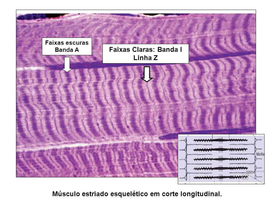 Faixas escuras Banda A Faixas Claras: Banda I Linha Z Músculo estriado esquelético em corte longitudinal.