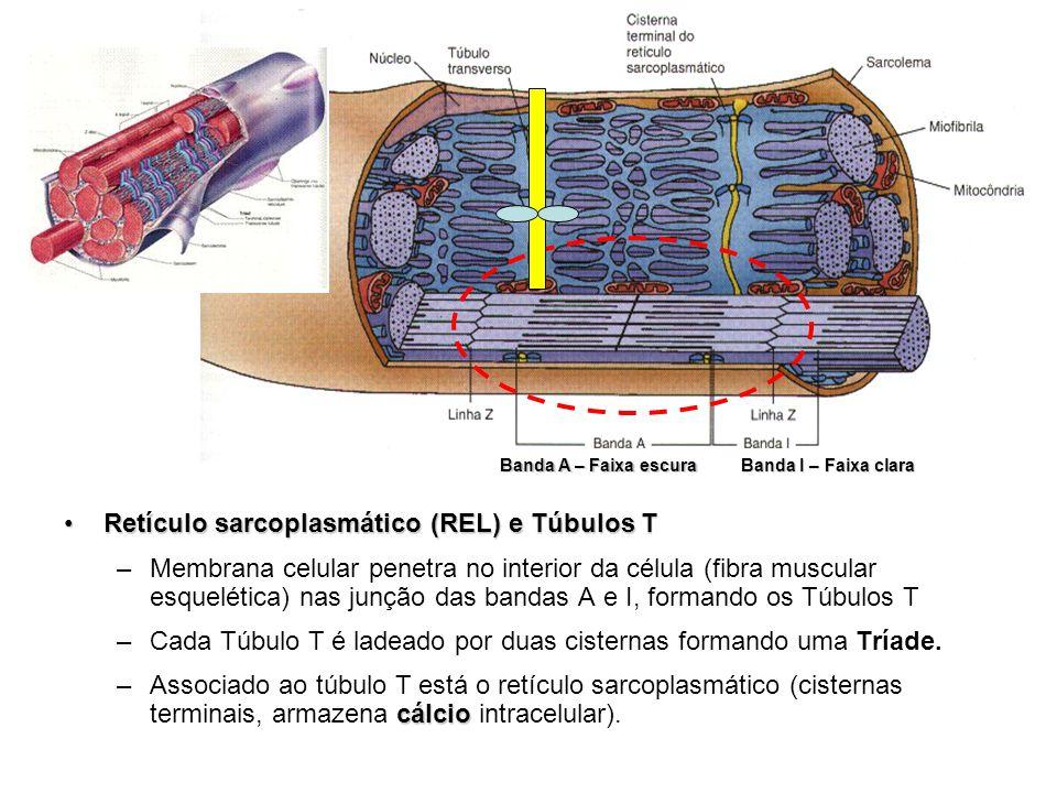Retículo sarcoplasmático (REL) e Túbulos TRetículo sarcoplasmático (REL) e Túbulos T –Membrana celular penetra no interior da célula (fibra muscular e