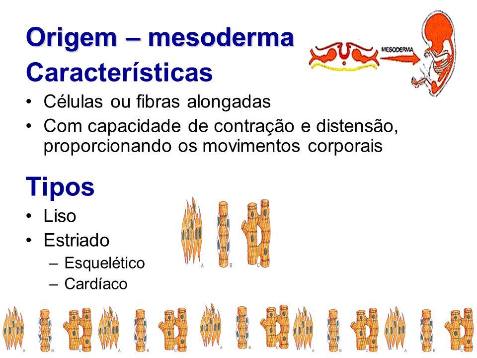 Origem – mesoderma Características Células ou fibras alongadas Com capacidade de contração e distensão, proporcionando os movimentos corporais Tipos L