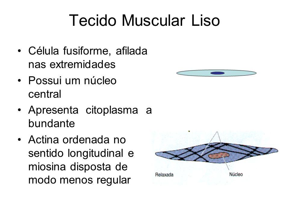 Tecido Muscular Liso Célula fusiforme, afilada nas extremidades Possui um núcleo central Apresenta citoplasma a bundante Actina ordenada no sentido lo