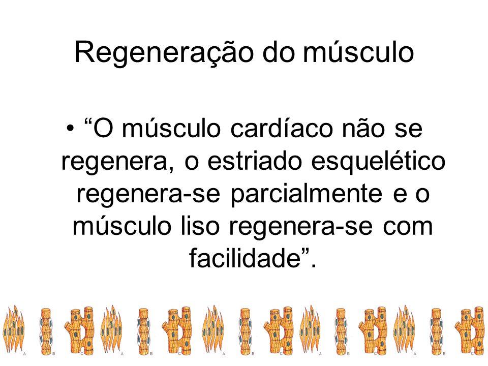 Regeneração do músculo O músculo cardíaco não se regenera, o estriado esquelético regenera-se parcialmente e o músculo liso regenera-se com facilidade