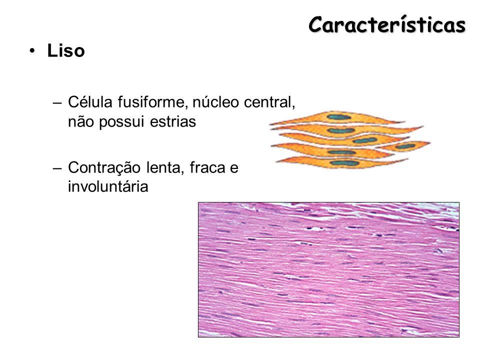 Características Liso –Célula fusiforme, núcleo central, não possui estrias –Contração lenta, fraca e involuntária