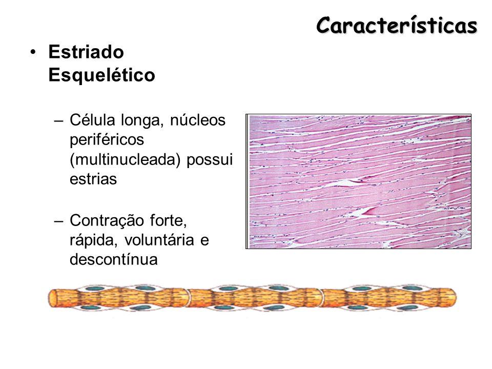 Características Estriado Esquelético –Célula longa, núcleos periféricos (multinucleada) possui estrias –Contração forte, rápida, voluntária e descontí