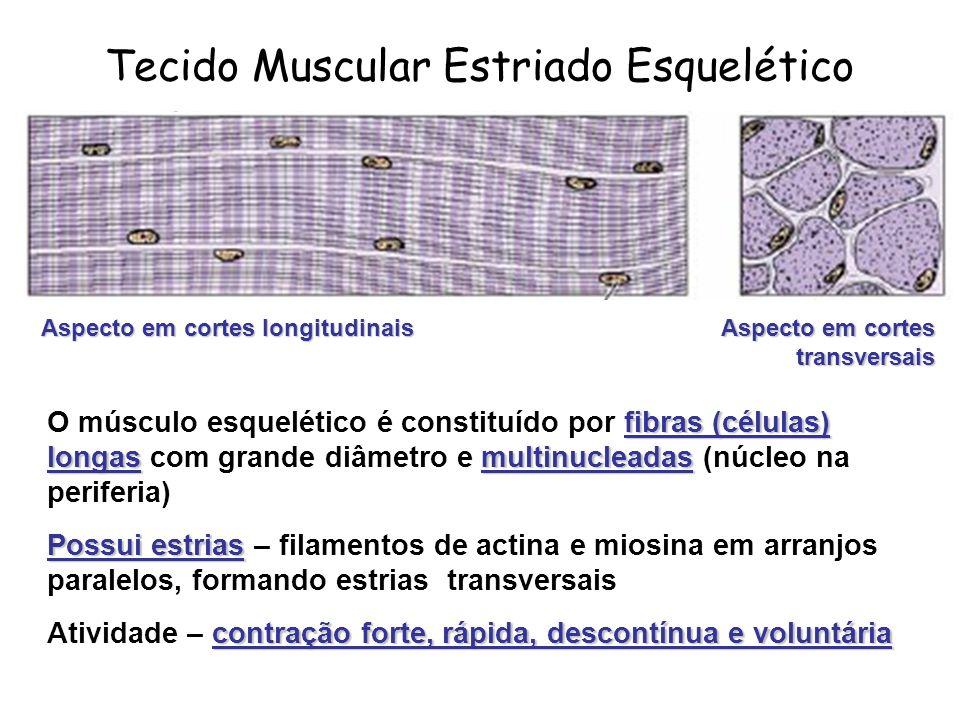 fibras (células) longasmultinucleadas O músculo esquelético é constituído por fibras (células) longas com grande diâmetro e multinucleadas (núcleo na