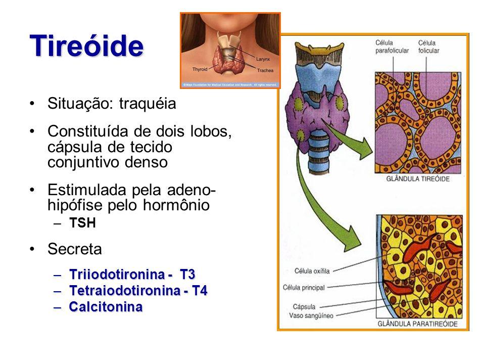 Tireóide Situação: traquéia Constituída de dois lobos, cápsula de tecido conjuntivo denso Estimulada pela adeno- hipófise pelo hormônio –TSH Secreta –