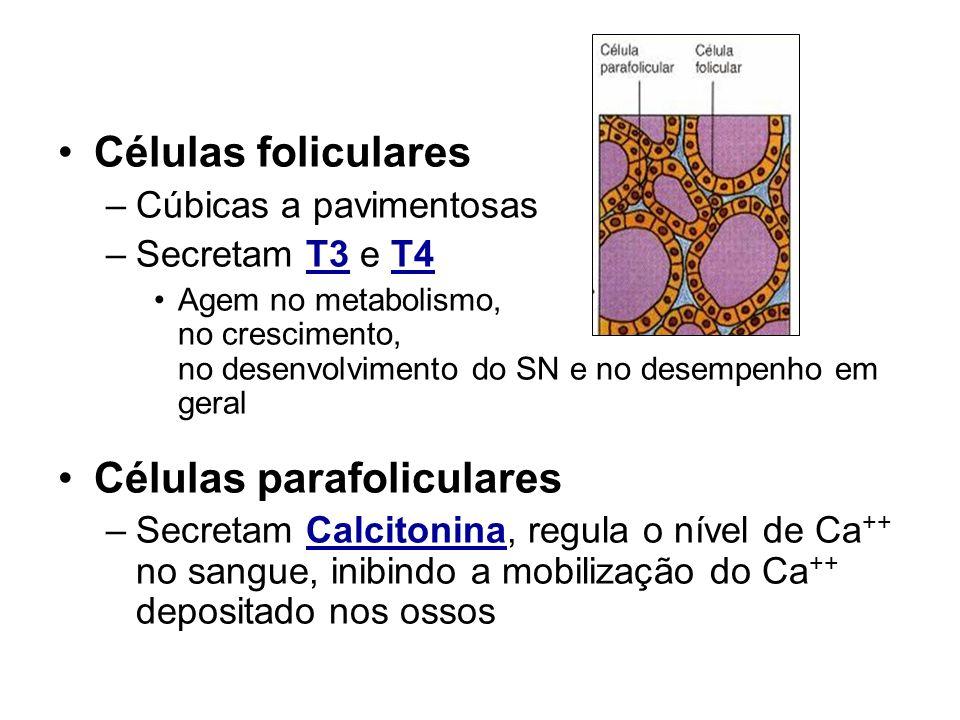 Tireóide Células foliculares –Cúbicas a pavimentosas –Secretam T3 e T4 Agem no metabolismo, no crescimento, no desenvolvimento do SN e no desempenho e