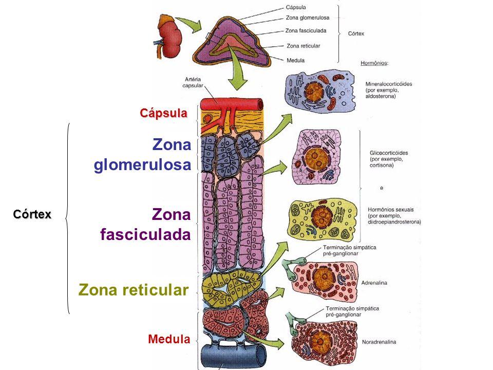 Zona glomerulosa Zona fasciculada Zona reticular Medula Cápsula Córtex
