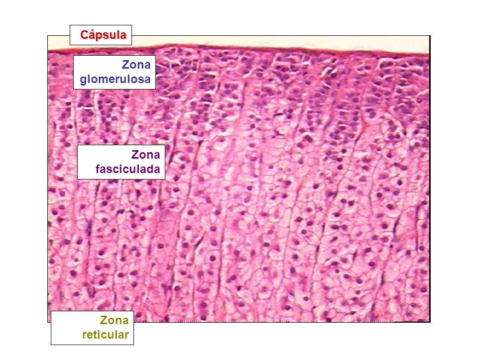 Zona glomerulosa Zona fasciculada Zona reticular Cápsula