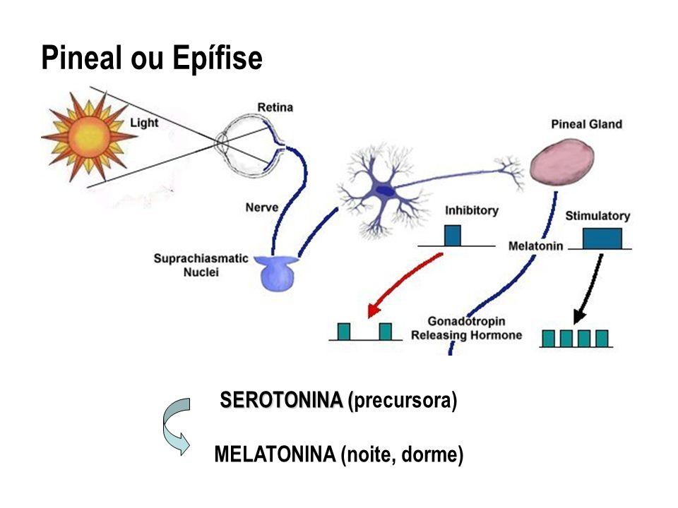 Pineal ou Epífise SEROTONINA ( SEROTONINA (precursora) MELATONINA (noite, dorme)
