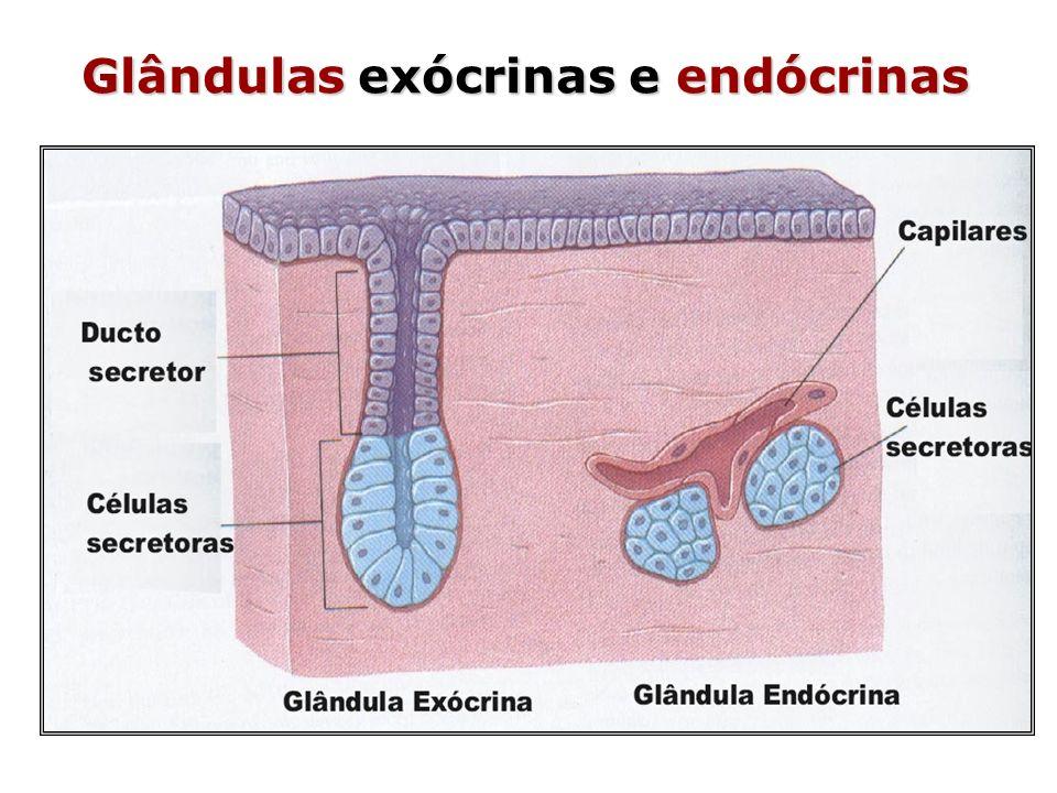 Sistema Endócrino Glândulas – Hipófise – Tireóide – Paratireóide – Pineal – Supra-renal ou Adrenal – Ilhotas de Langerhans Células – Células de Leydig – testículos – Células intersticiais - ovários