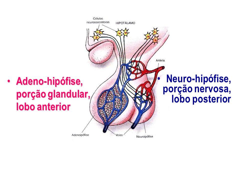 Adeno-hipófise, porção glandular, lobo anterior Adeno-hipófise, porção glandular, lobo anterior Neuro-hipófise, porção nervosa, lobo posterior