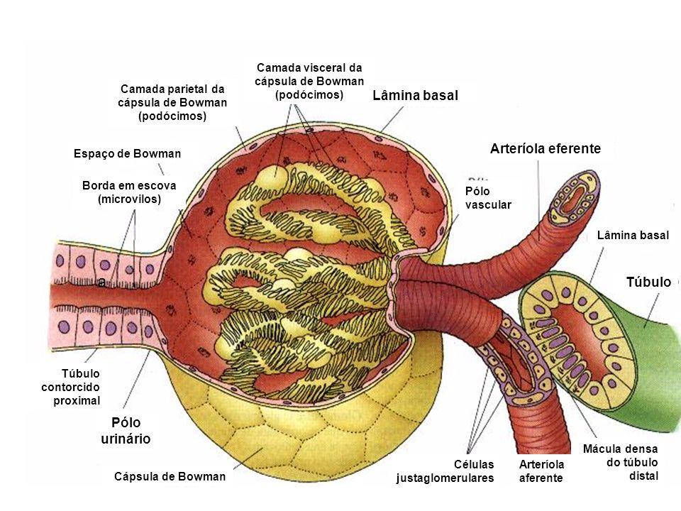 Espaço de Bowman Camada visceral da cápsula de Bowman (podócimos) a Borda em escova (microvilos) Túbulo contorcido proximal Pólo urinário Pólo vascula