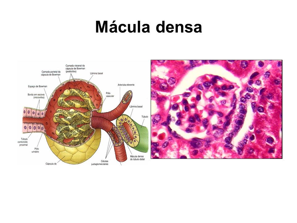 Mácula densa