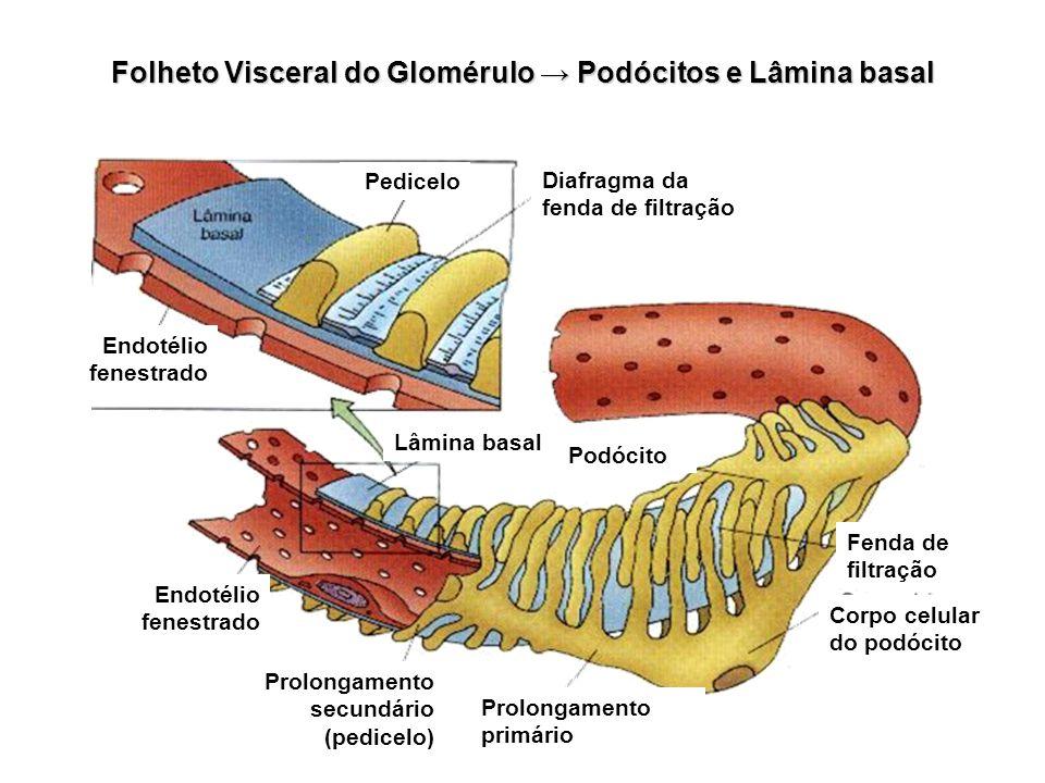 Folheto Visceral do Glomérulo Podócitos e Lâmina basal Endotélio fenestrado Prolongamento primário Corpo celular do podócito Fenda de filtração Podóci