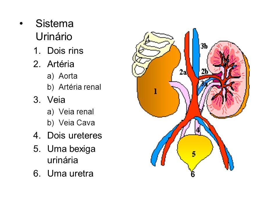 Sistema Urinário 1.Dois rins 2.Artéria a)Aorta b)Artéria renal 3.Veia a)Veia renal b)Veia Cava 4.Dois ureteres 5.Uma bexiga urinária 6.Uma uretra 6